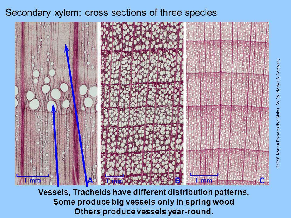 Secondary xylem: cross sections of three species
