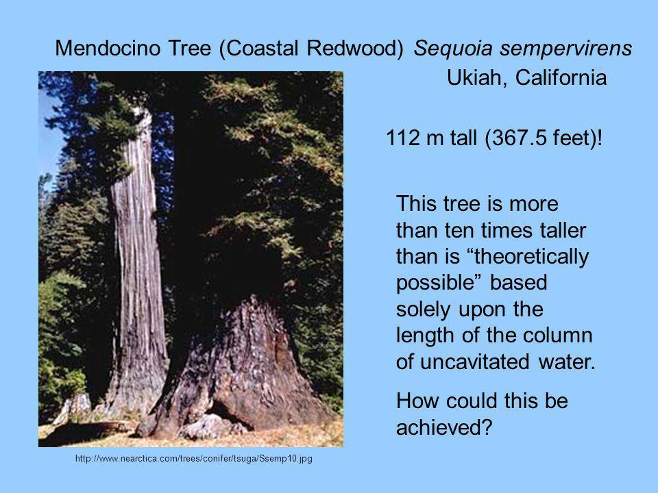 Mendocino Tree (Coastal Redwood) Sequoia sempervirens