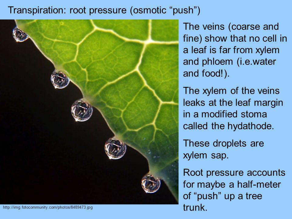 Transpiration: root pressure (osmotic push )