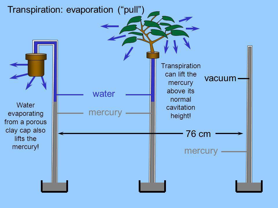 Transpiration: evaporation ( pull )