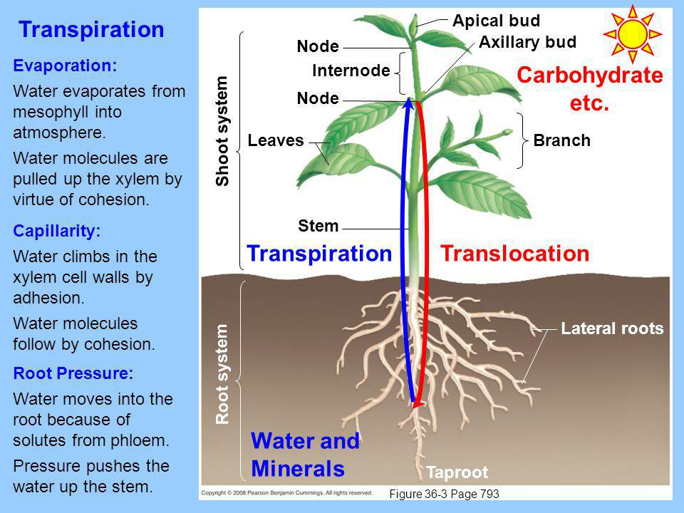Transpiration Carbohydrate etc. Transpiration Translocation