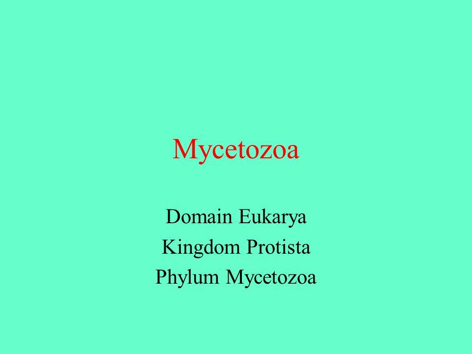 Domain Eukarya Kingdom Protista Phylum Mycetozoa