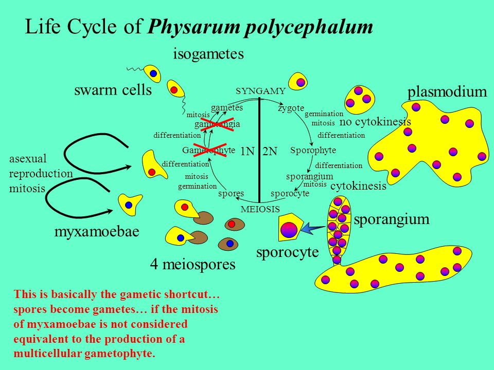 Life Cycle of Physarum polycephalum