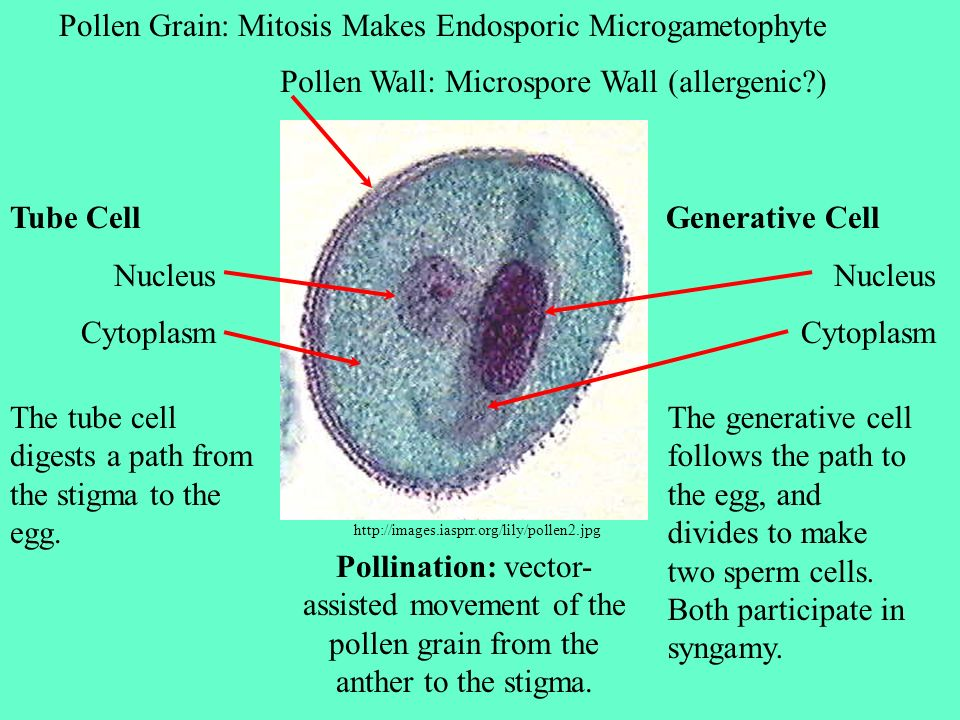 Pollen Grain: Mitosis Makes Endosporic Microgametophyte