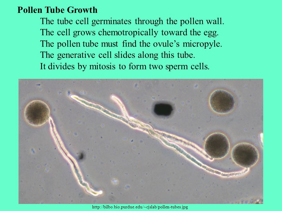 The tube cell germinates through the pollen wall.