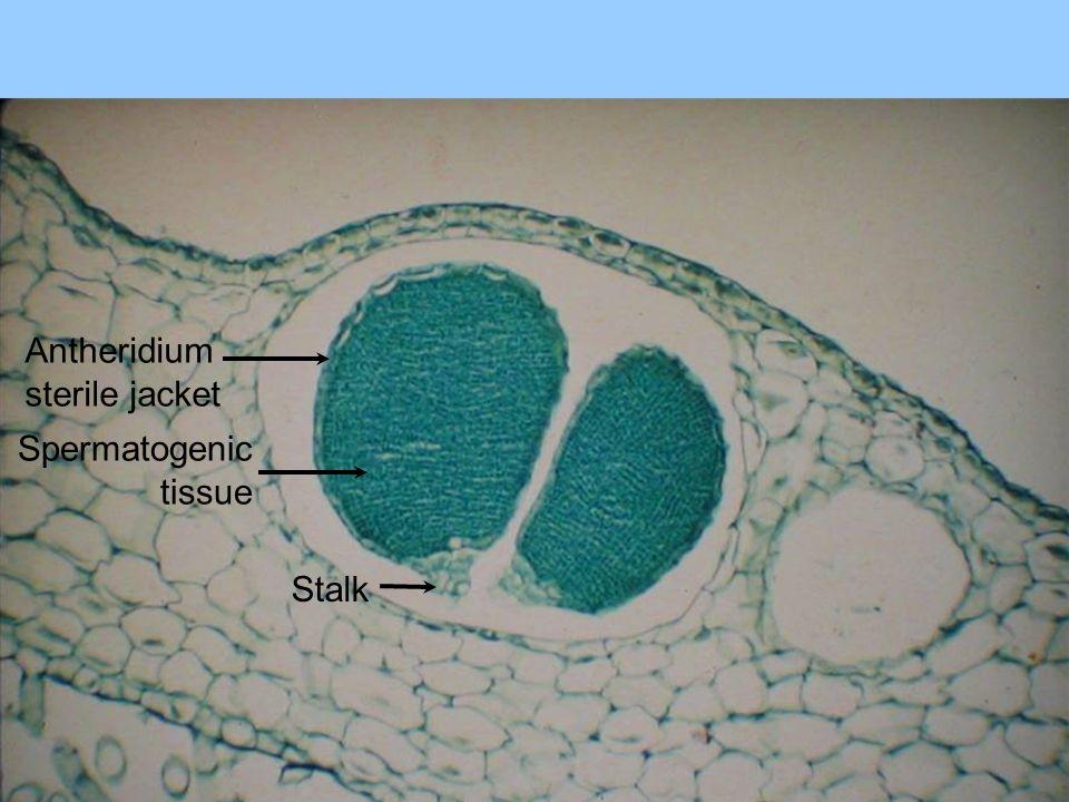 Antheridium sterile jacket