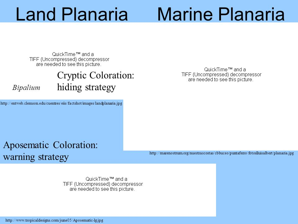 Land Planaria Marine Planaria Cryptic Coloration: hiding strategy