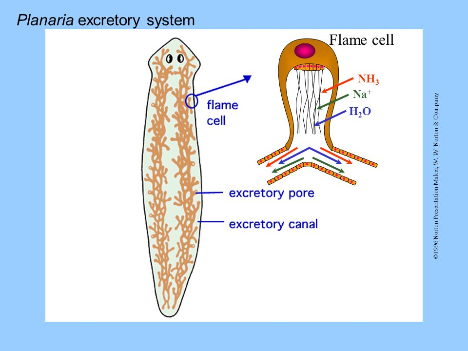 Planaria excretory system Flame cell