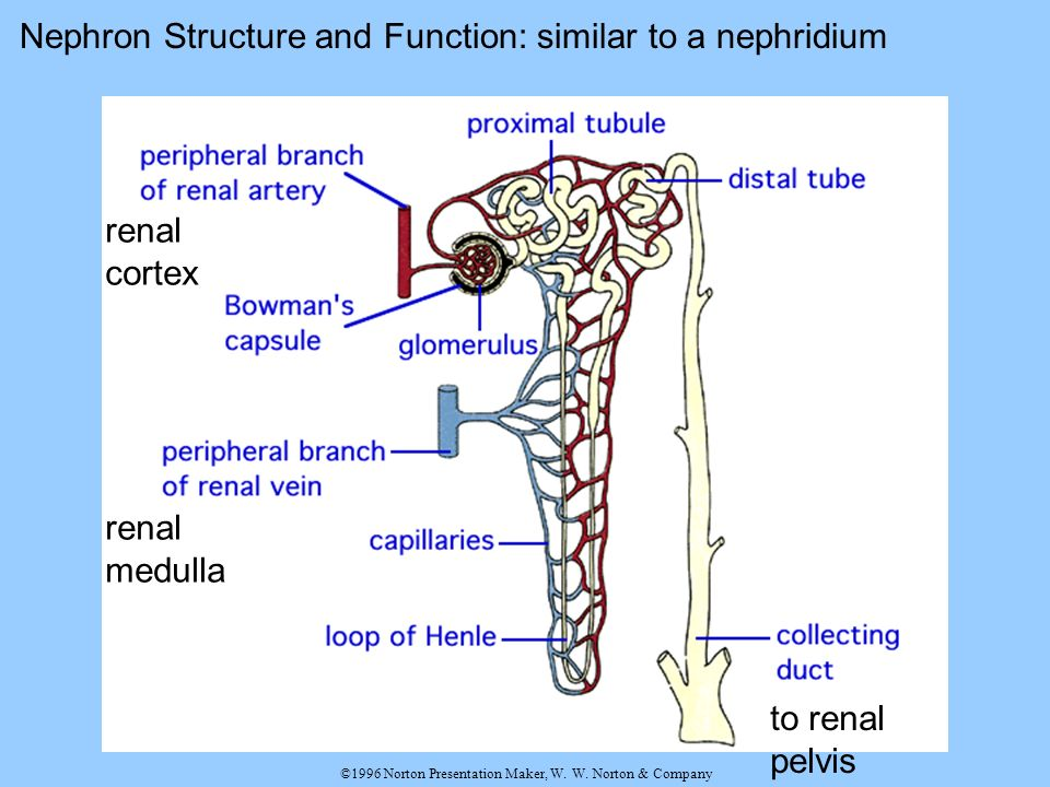 Nephron Structure and Function: similar to a nephridium