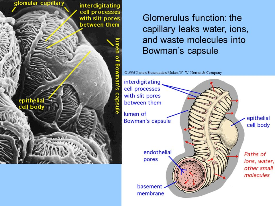 Glomerulus function: the capillary leaks water, ions, and waste molecules into Bowman's capsule