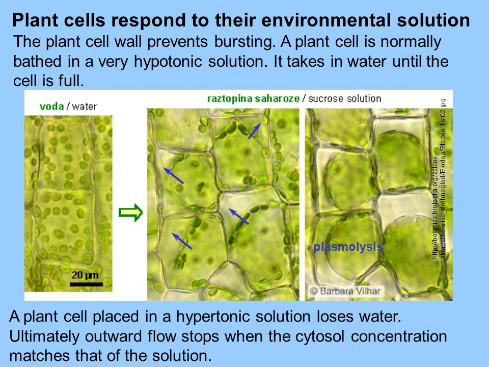 Plant cells respond to their environmental solution