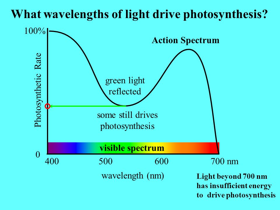 What wavelengths of light drive photosynthesis