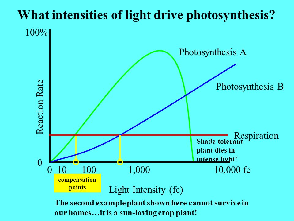 What intensities of light drive photosynthesis