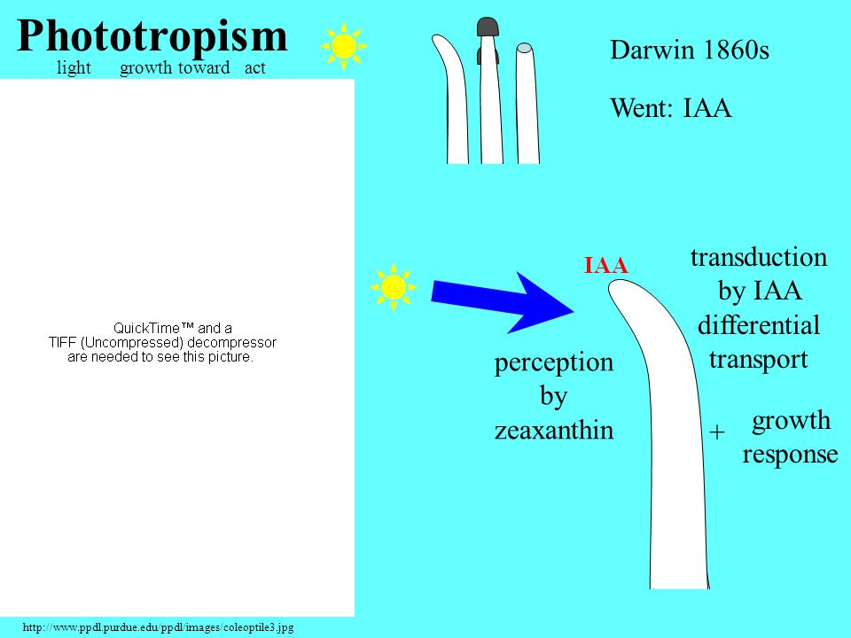 Phototropism Darwin 1860s Went: IAA