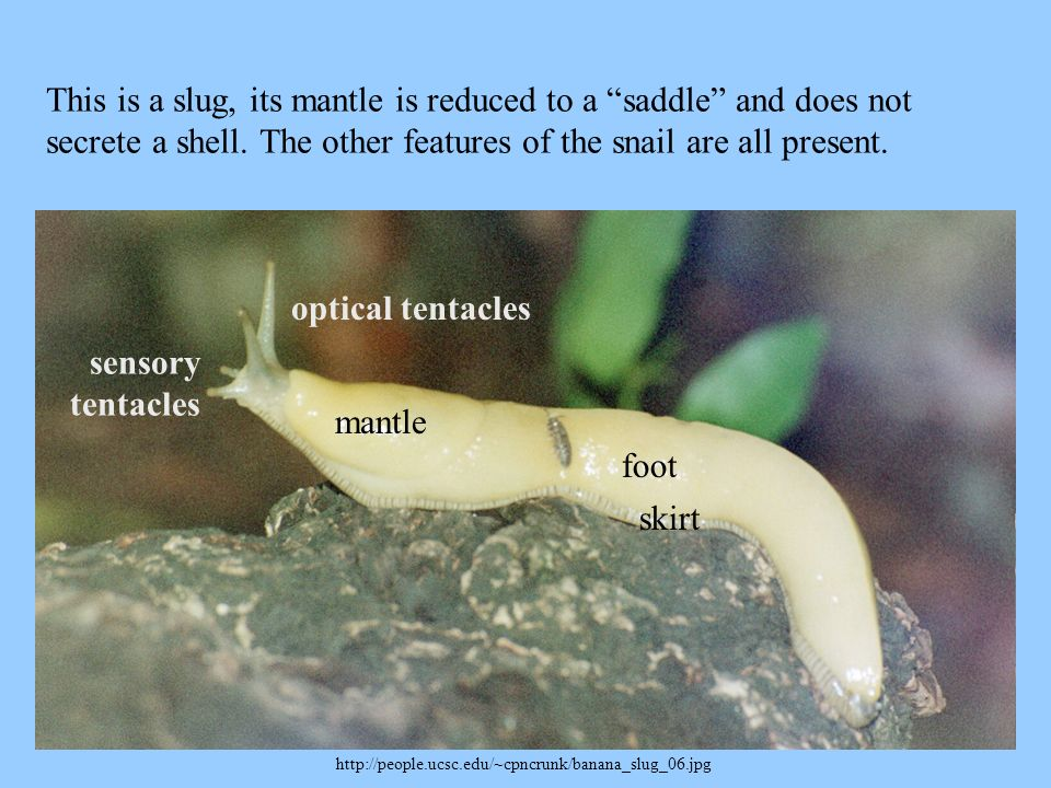 This is a slug, its mantle is reduced to a saddle and does not secrete a shell. The other features of the snail are all present.
