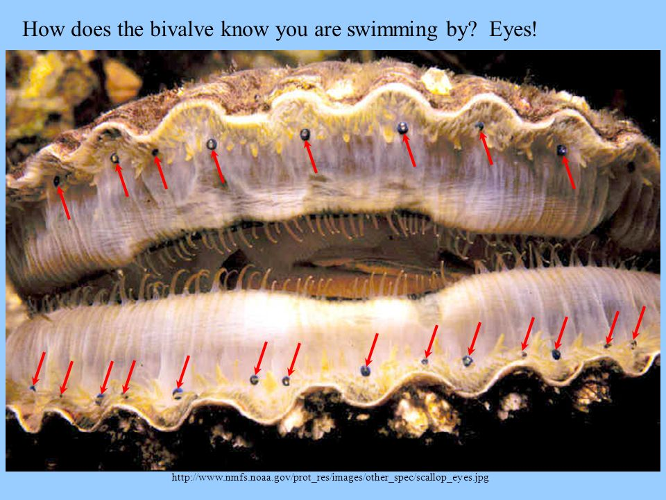 How does the bivalve know you are swimming by Eyes!