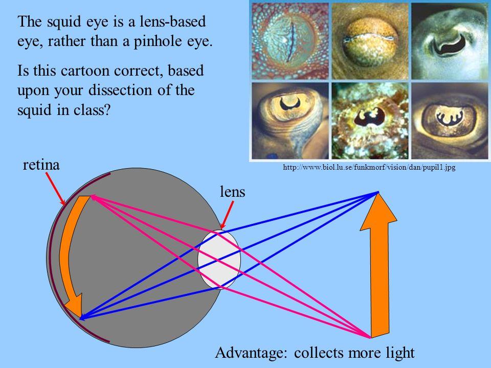 The squid eye is a lens-based eye, rather than a pinhole eye.