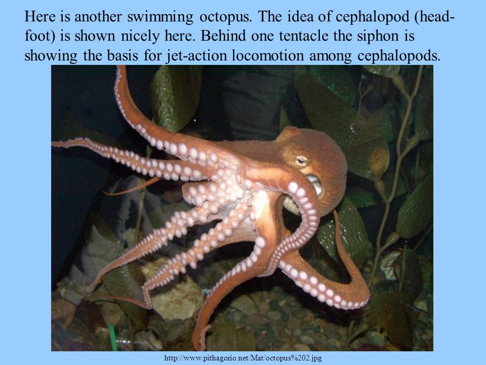 Here is another swimming octopus