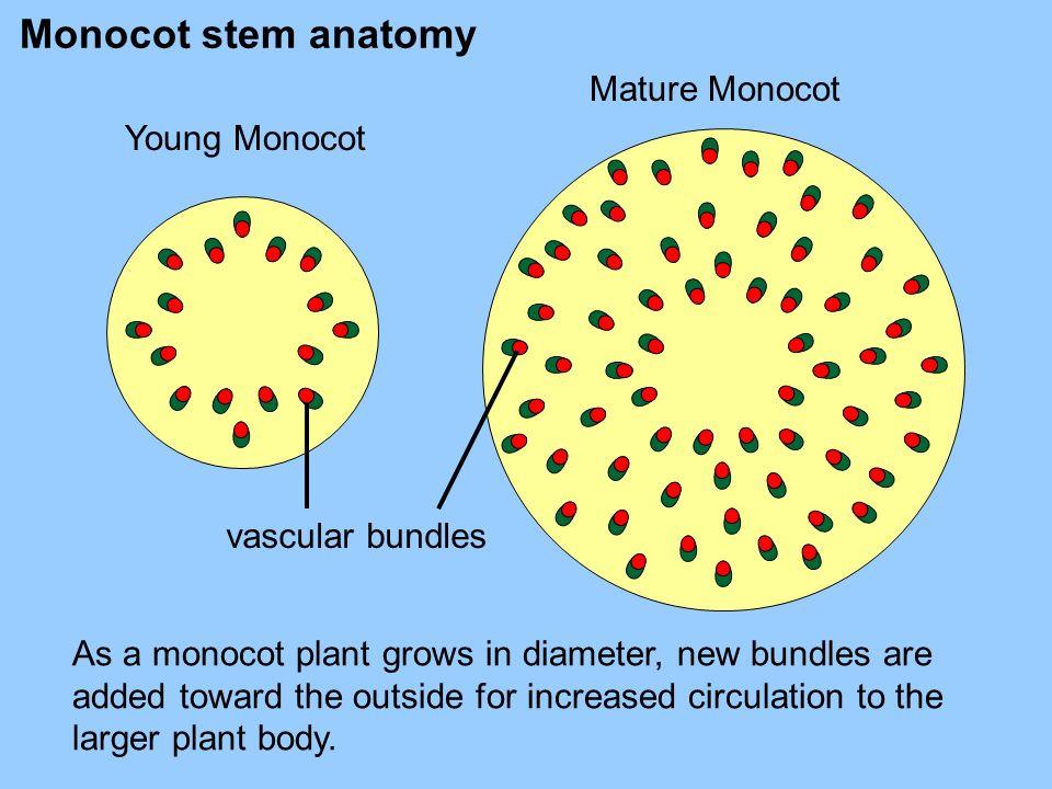 Monocot stem anatomy Mature Monocot Young Monocot vascular bundles
