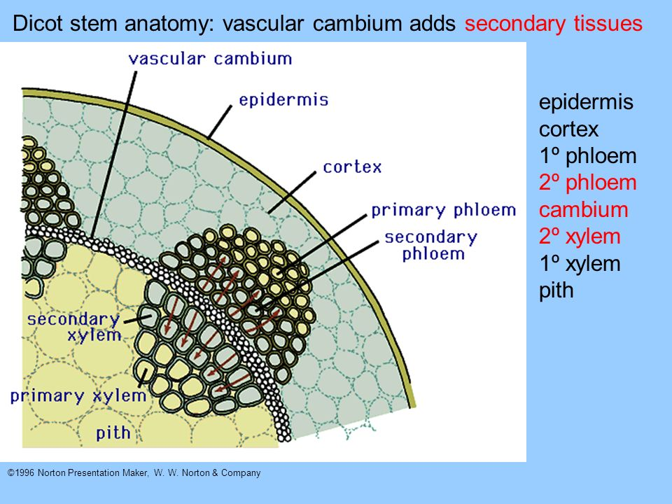 Dicot stem anatomy: vascular cambium adds secondary tissues