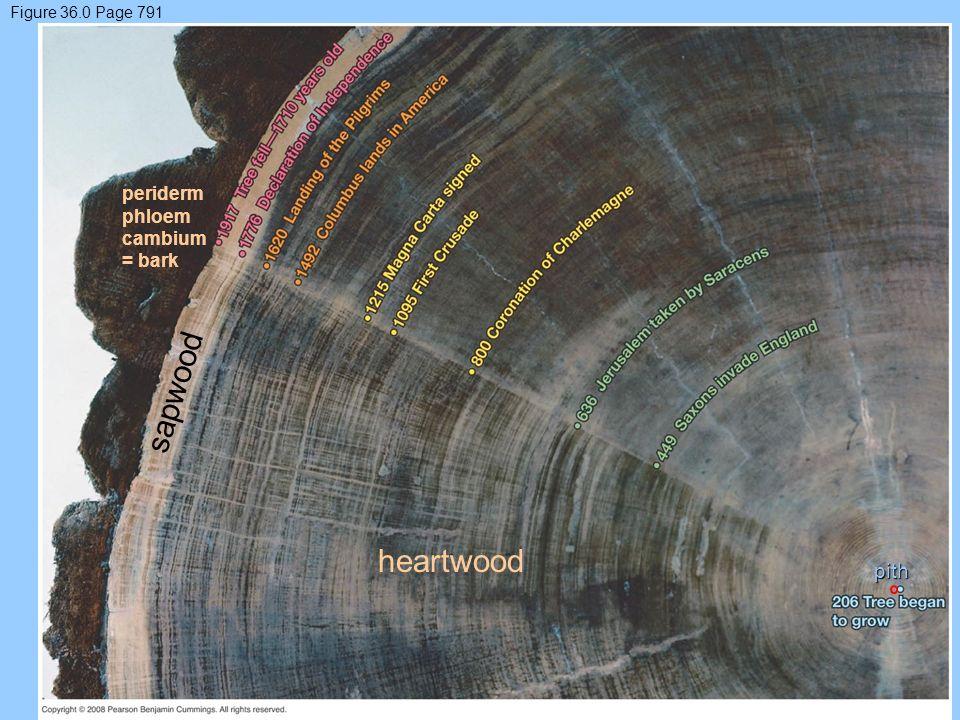 sapwood heartwood pith periderm phloem cambium = bark
