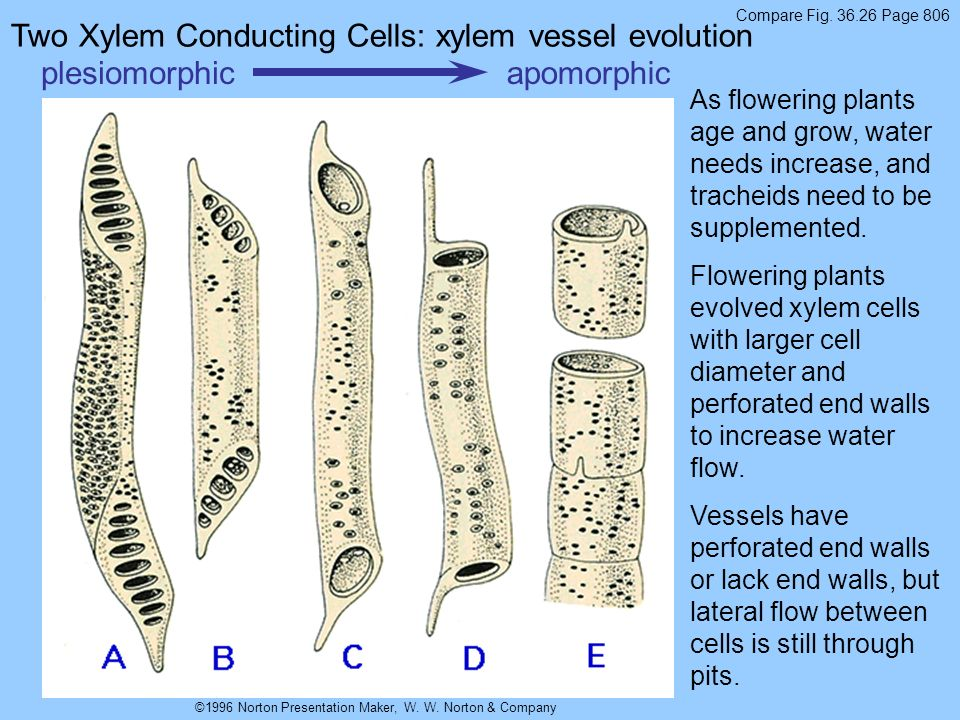 Two Xylem Conducting Cells: xylem vessel evolution plesiomorphic