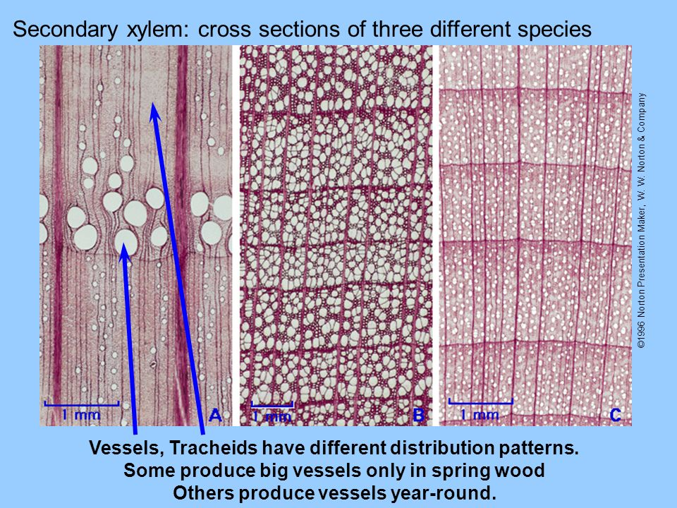 Secondary xylem: cross sections of three different species