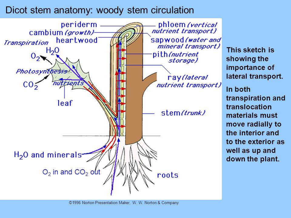 Dicot stem anatomy: woody stem circulation