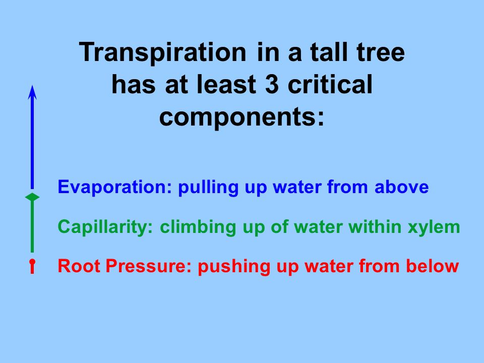 Transpiration in a tall tree has at least 3 critical components: