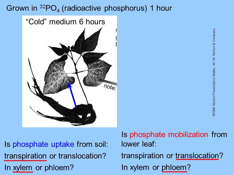 Grown in 32PO4 (radioactive phosphorus) 1 hour