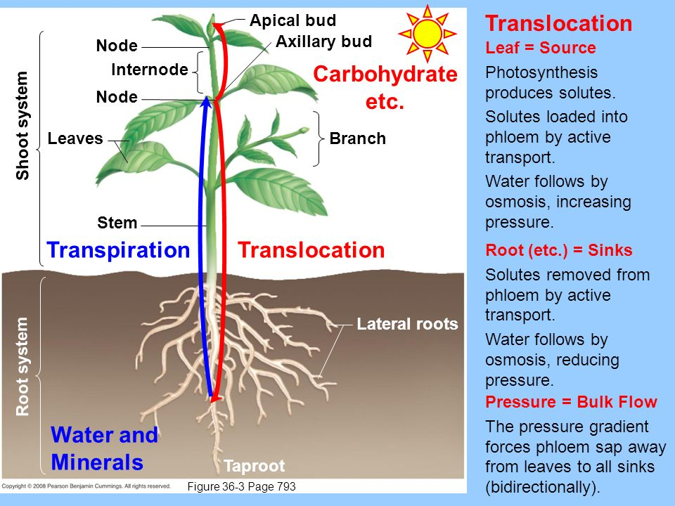 Translocation Carbohydrate etc. Transpiration Translocation