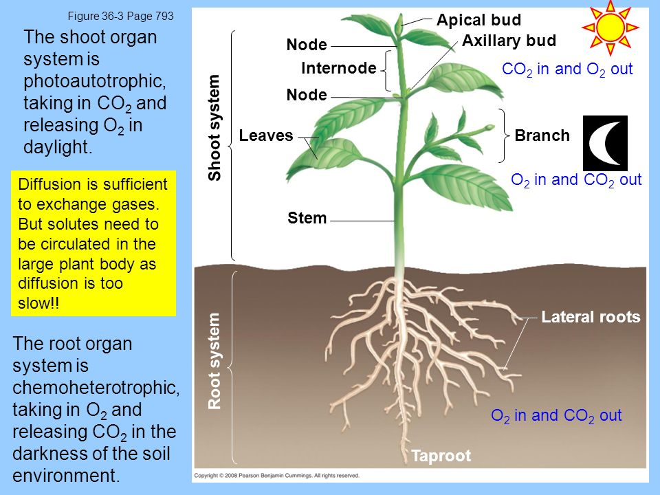 Figure 36-3 Page 793 Apical bud. The shoot organ system is photoautotrophic, taking in CO2 and releasing O2 in daylight.