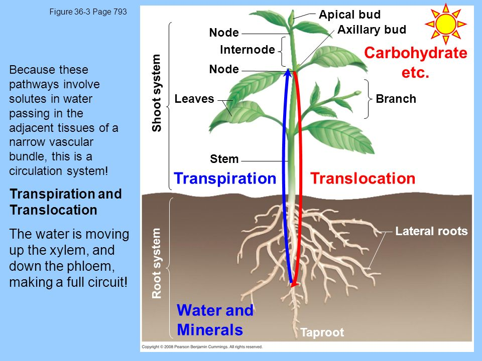 Carbohydrate etc. Transpiration Translocation Water and Minerals