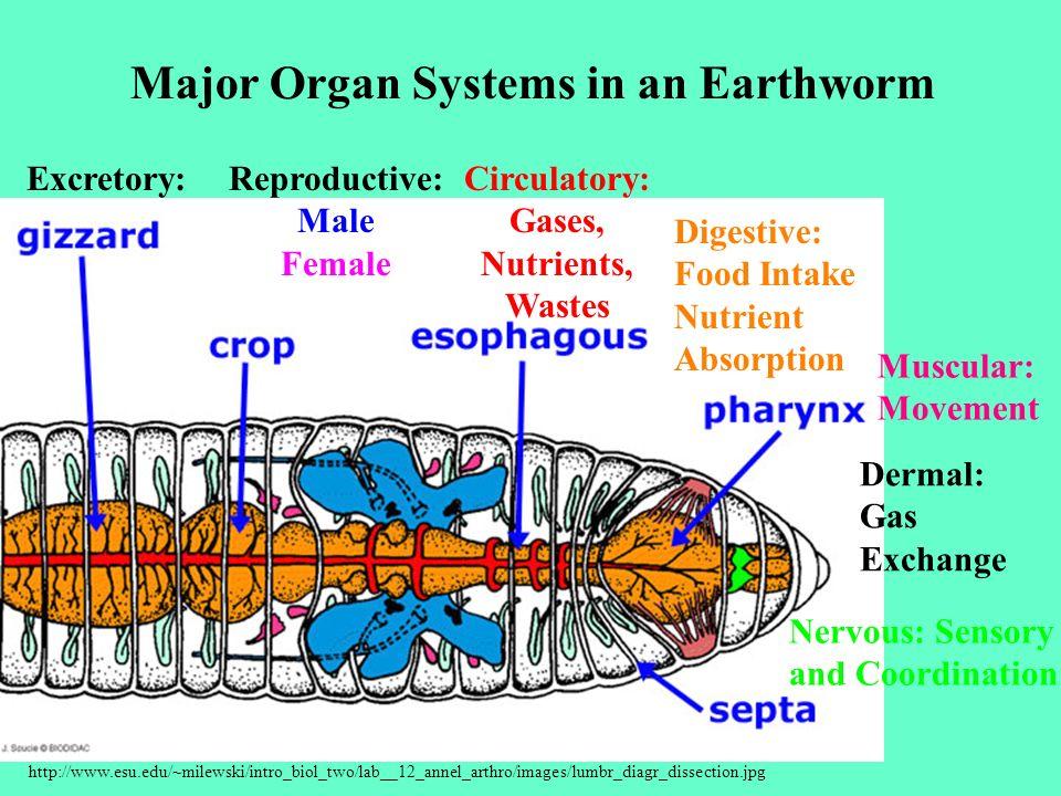 Circulatory: Gases, Nutrients, Wastes