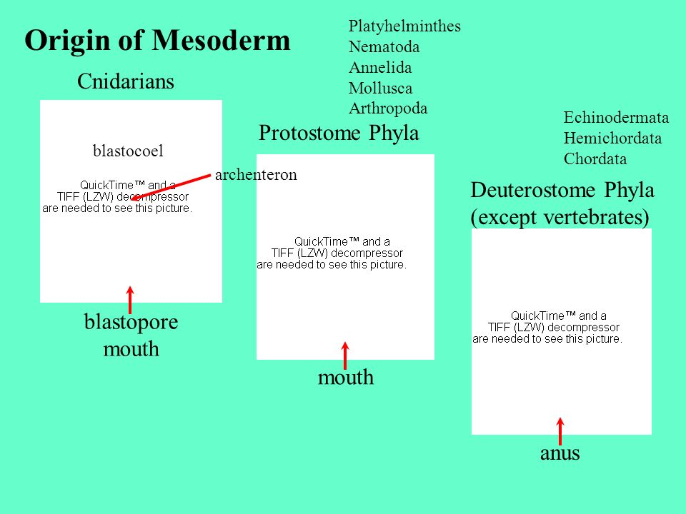 Origin of Mesoderm Cnidarians Protostome Phyla Deuterostome Phyla