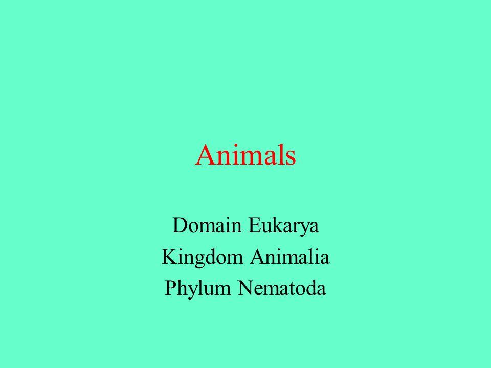 Domain Eukarya Kingdom Animalia Phylum Nematoda