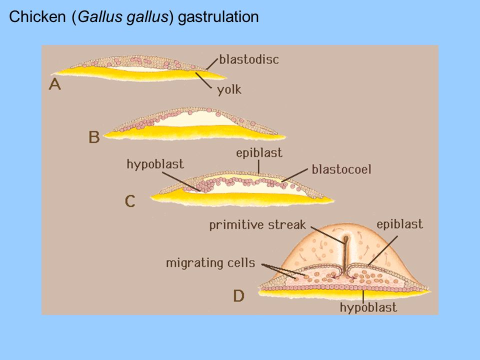 Chicken (Gallus gallus) gastrulation