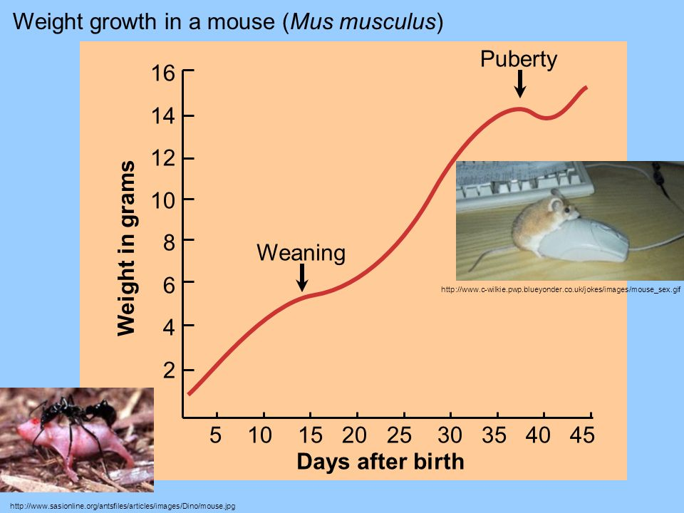 Weight growth in a mouse (Mus musculus)