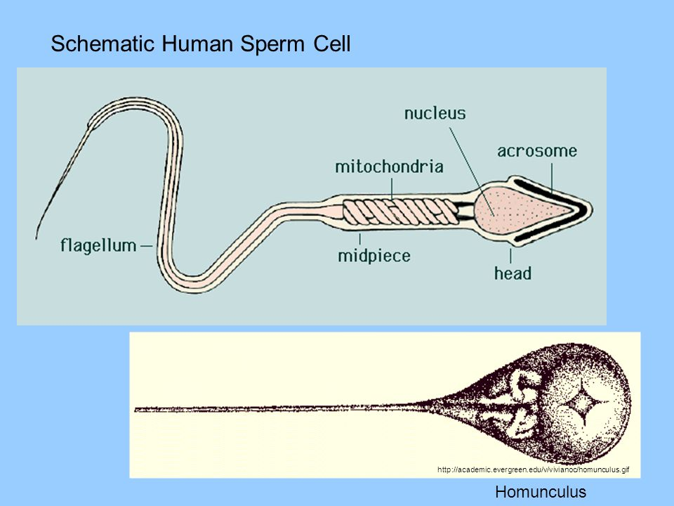 Schematic Human Sperm Cell