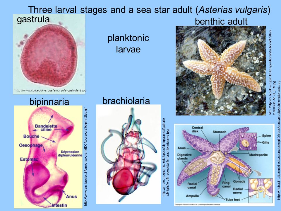Three larval stages and a sea star adult (Asterias vulgaris) gastrula