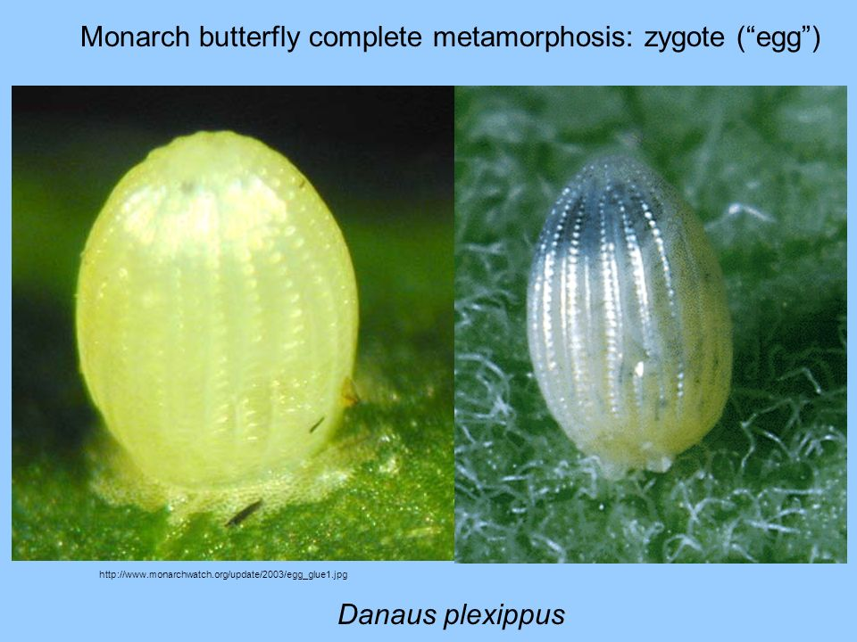 Monarch butterfly complete metamorphosis: zygote ( egg )