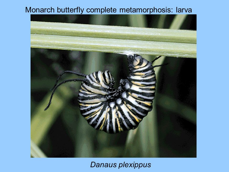 Monarch butterfly complete metamorphosis: larva