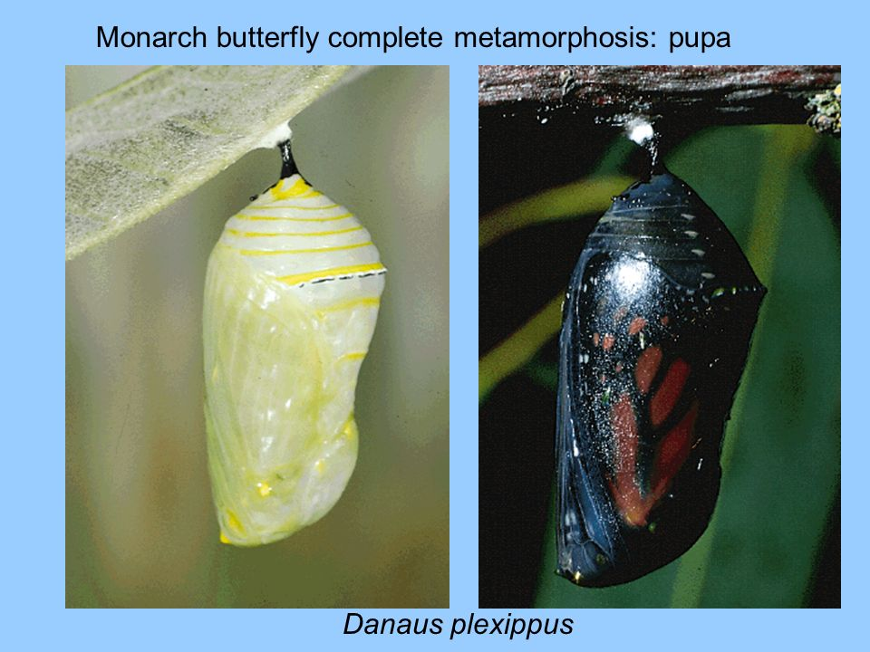 Monarch butterfly complete metamorphosis: pupa