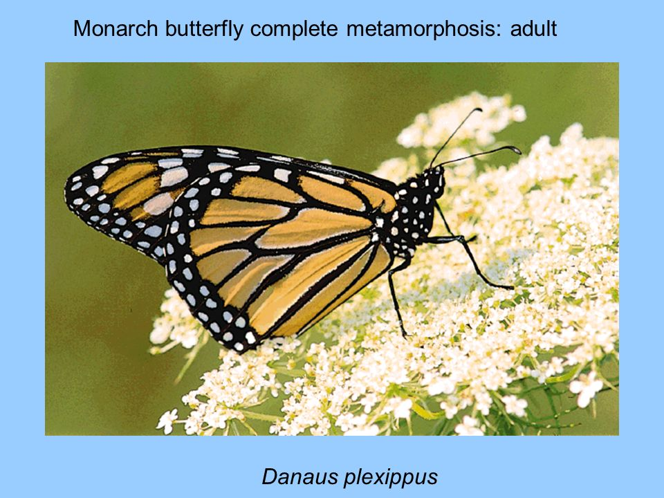 Monarch butterfly complete metamorphosis: adult
