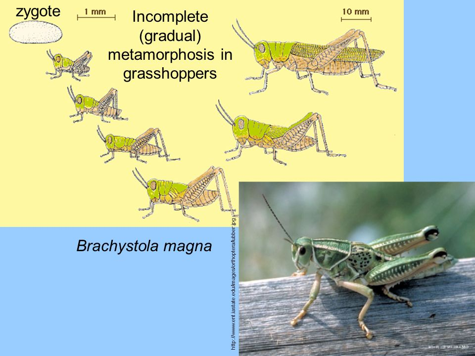 Incomplete (gradual) metamorphosis in grasshoppers