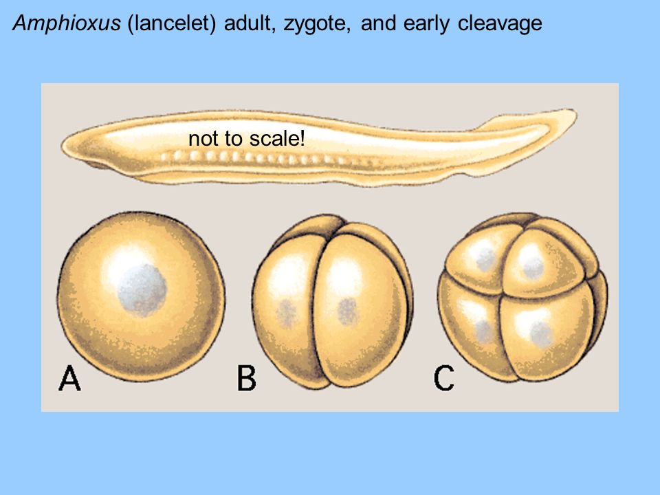 Amphioxus (lancelet) adult, zygote, and early cleavage