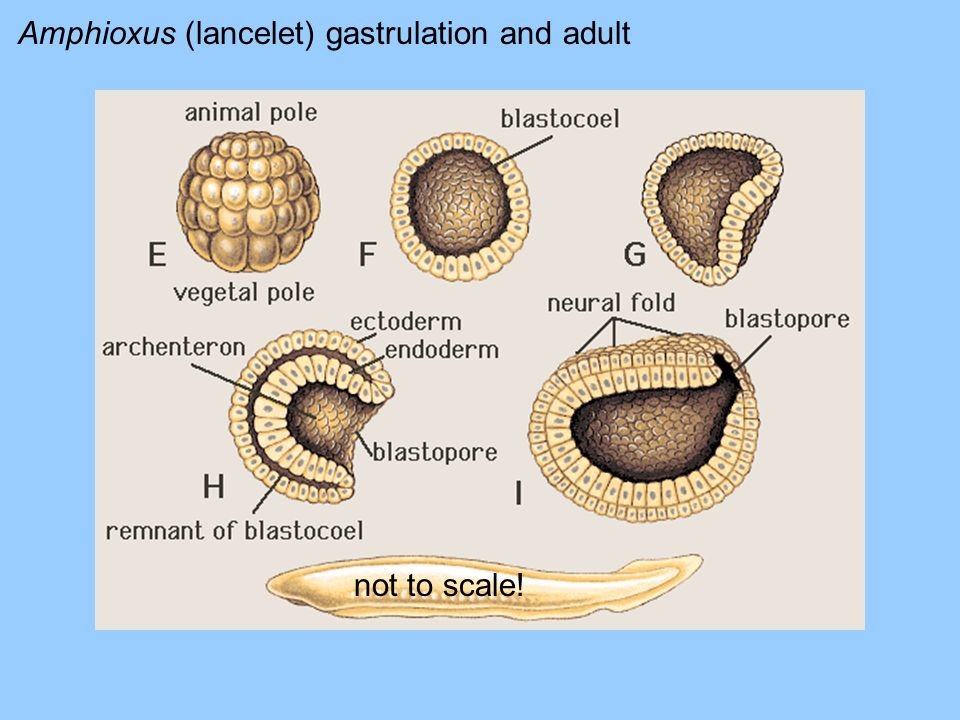 Amphioxus (lancelet) gastrulation and adult