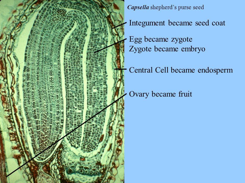 Integument became seed coat