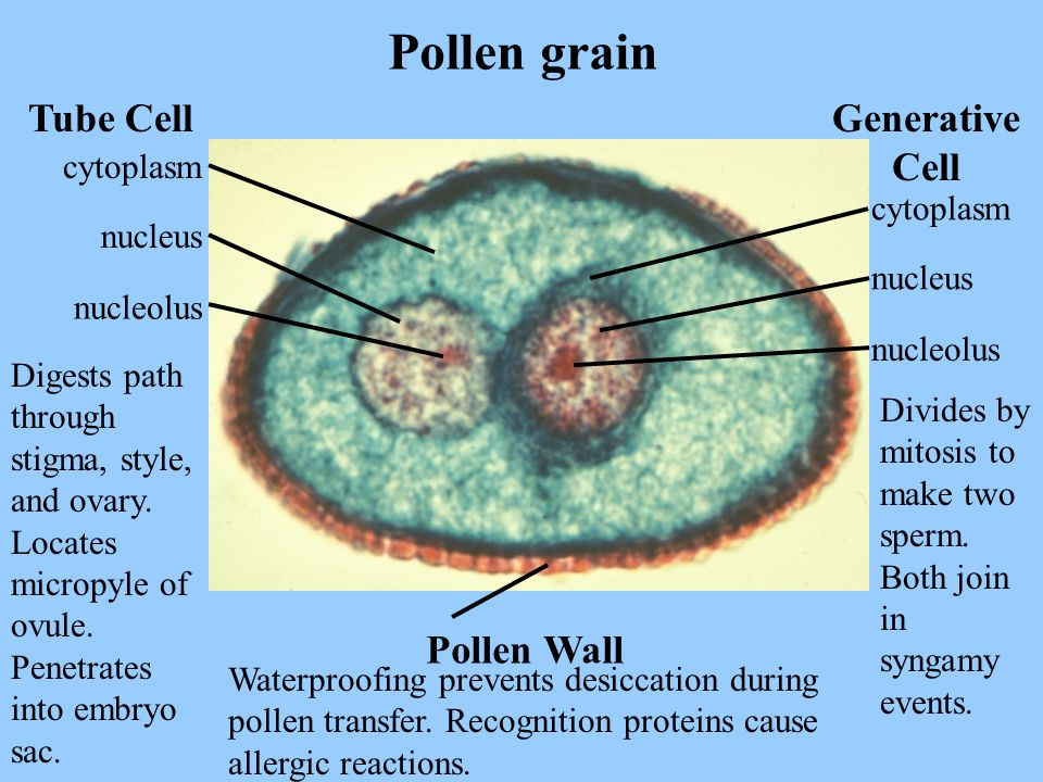 Pollen grain Tube Cell Generative Cell Pollen Wall cytoplasm cytoplasm