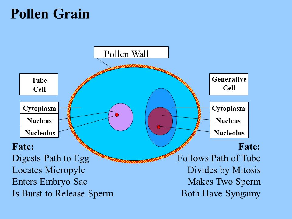 Pollen Grain Pollen Wall Fate: Digests Path to Egg Locates Micropyle